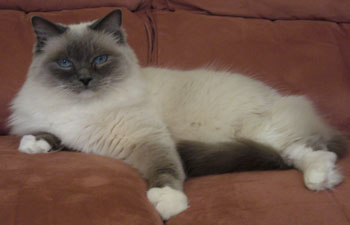Is a ragdoll cat right for you